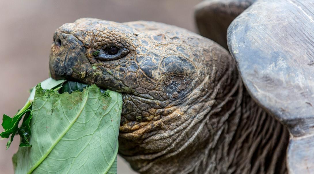 Tortuga gigante comiendo.